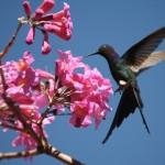 ipe&hummingbird